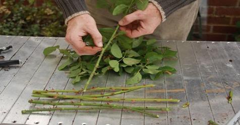 Cómo obtener cientos de rosas a partir de un simple tallo. Paso a paso.